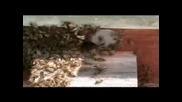 Хващане на рояк пчели