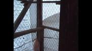 Sdv_0330 паламарски гълъби бай мехмед йонково