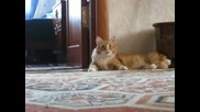 Котка ходи на два крака