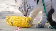 Тайландски котки Корат обичат царевица / 2