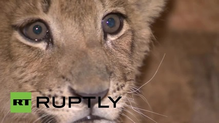 Russia: Will Luma the lioness make this Moscow hookah lounge a roaring success?