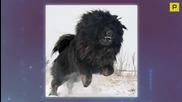 Най - скъпото куче в света Тибетски Мастиф (1.5 Million $)