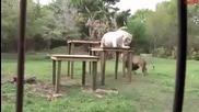 Лъв и бяла тигрица неразделни приятели!
