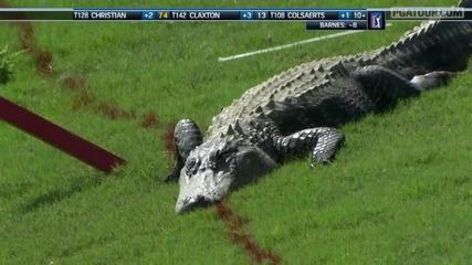 Алигатор на голф игрище ..