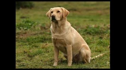 Golden Retriever & Labrador