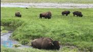 Bison Attack 2 More Yellowstone Visitors