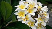 Lovely flower Plumeria Прекрасно цвете Plumeria