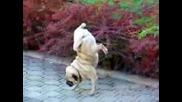 Куче върви на предните си лапи