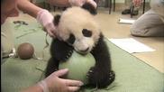 Сладко бебе панда не си пуска топката