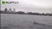 Crazy Deer Goes for an Ocean Swim