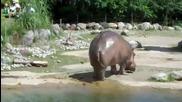 Хипопотам си маркирва територията