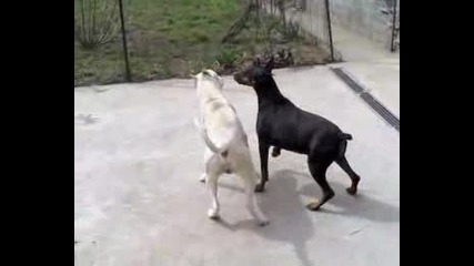 Dobermann And Dogo Play !!.