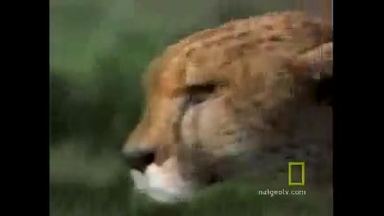 Fast and Furious Lives of Cheetahs