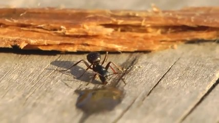Вижте какво се случва с мравка пила от алкохол.