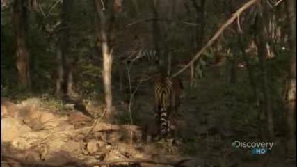 Животът на едно семейство тигри !