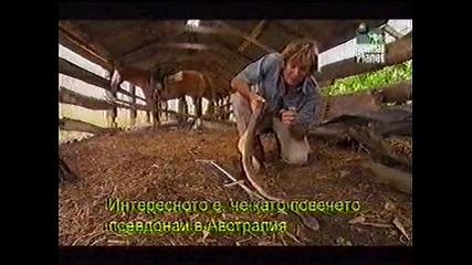 Остин Стивънс - кралска кафява змия