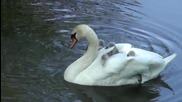 Новоизлюпени лебеди плуват в езеро върху гърба на майка си