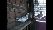 гълъби на глас