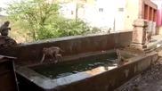 Маймунки се разхлаждат от горещото лято!