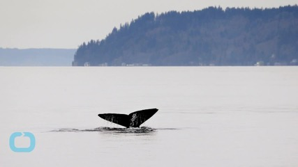 International Whaling Commission Panel Says New Japanese Antarctic Whaling Plan not Convincing