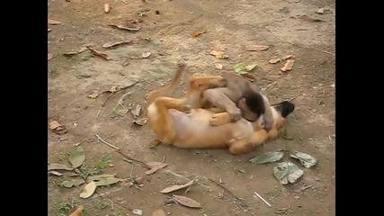 Маймунка се закача с куче