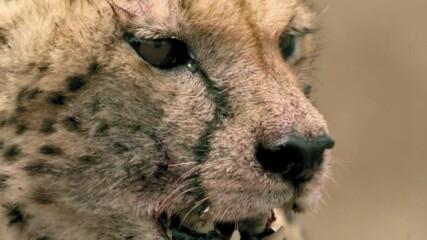 откъс от Царицата на скоростта от Серенгети | Месец на Големите Котки | NG Wild Bulgaria