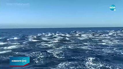 ЗРЕЛИЩЕ ВЪВ ВОДАТА: Стотици делфини край бреговете на Южна Калифорния