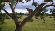 Културата на лъвовете катерачи | Лъвове катерачи: Завръщане в Уганда | NG Wild Bulgaria
