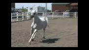 Arabian Horses !