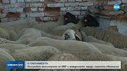 Земеделският министър: Не е добре да се бавят действията в борбата с чумата