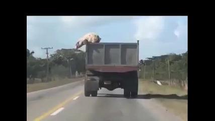 Прасе скача от движещ се камион