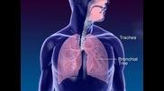 Функицията не белите дробове