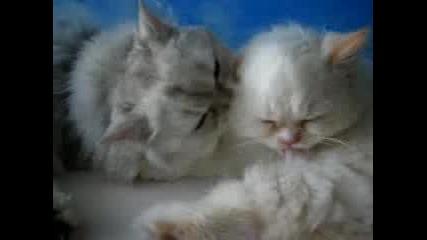 Две Котета Се Ближат