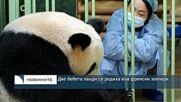 Две бебета панди се родиха във френски зоопарк