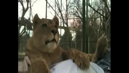 Приятелството между човек и Лъв