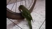 Папагал Спада Гума!!!