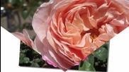 Mihaela Mihai - Sa nu uitati nicicand sa iubiti trandafirii