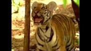 Маймунка закачливо играе с тигърчета - Смях