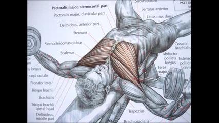 Анатомия на гръдния мускул