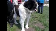 Овчарско куче