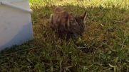 Коте яде зрънчо Зайо-байо