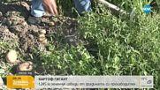 Стопанин извади гигантски картоф, който тежки 1.245 кг
