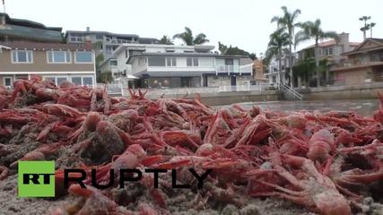 Хиляди гигантски червени скариди направиха плаж в Калифорния червен