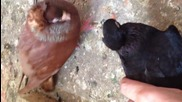 паламарски гълъби