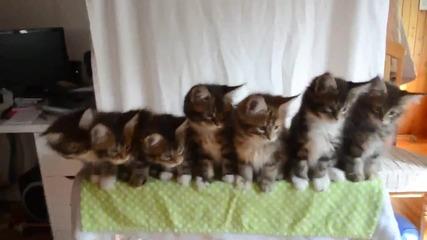 Седем малки котенца се движат в отличен синхрон
