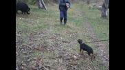 Първа среща на териер със прасе