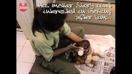 Сладко бебе орангутан