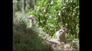 Banded mongooses raising their young - Bands on the Run - Bbc