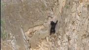 Невероятно! Мечка с меченцето си се катерят по стръмна скала като алпинисти!