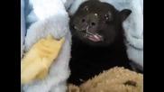 Прилеп похапва банан
